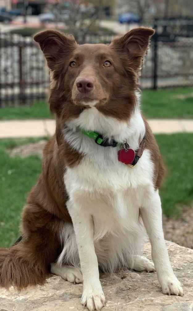 My Aussie Service Dog