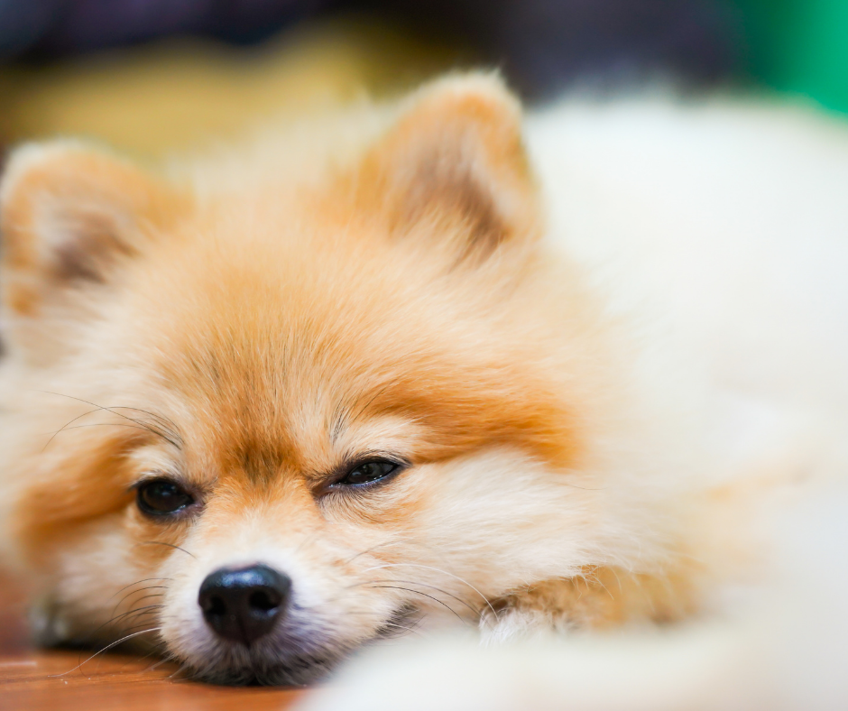 best emotional support dogs for people who live alone
